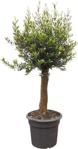 toom Oliven-Stamm 140 bis 180 cm, 50 cm Topf